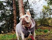 Französische Bulldogge Dame