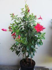 Pflanzen - Dipladenia Glockenblumen Buchs Steinwurz