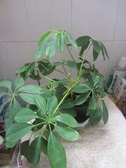 Strahlenarialie Aloe Vera Goldfeder Rankpflanze