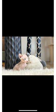 Sphynx Kitten Männlich