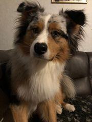 16 Monate alter Australian Shepherd