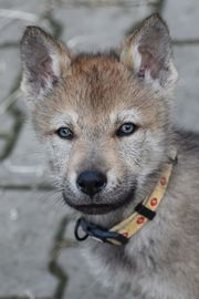 Tschechoslowakischer Wolfshund - Wolfhund Welpen