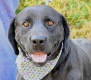 CEZAR Labrador Retriever - dieser Prachtbursche