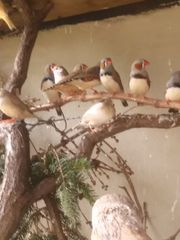 Zebrafinken vögel