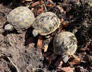 3 Stück Grichische Landschildkröten NZ