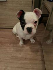 französischen Bulldog