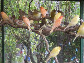 Vögel - Kanarienvögel von 2019 und 2020
