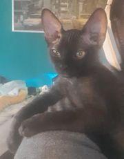 Candien Sphynx Junge schwarz