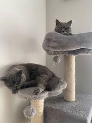 2x Hauskatzen BKH männlich weiblich