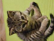 Süßes BKH Kitten sucht ein