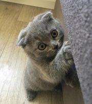 Bkh - skotisch fold Kitten