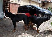 Rottweiler Welpen 2 Rüden 3
