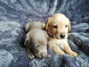 Bezaubernde reinrassige Labrador Welpen