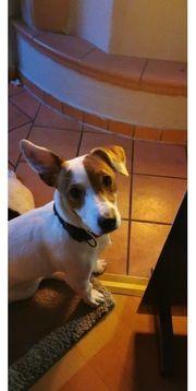 Jackrussel terrier reinrassig