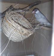 Reisfinken Reisamadine Prachtfinken