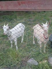 Zwei zahme Ziegen