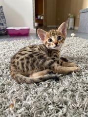 Savannah-Kitten F3 typvoll schlank