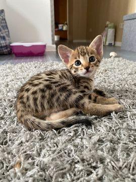 Savannah Kitten Tiermarkt Tiere Kaufen Quoka De