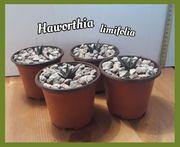 Sukkulente Haworthia limifolia Ableger 4