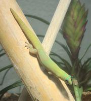 Phelsuma Laticauda Goldstaubtaggecko ENZ