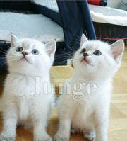 Kitten Katze Katzenbaby Reinrassig Reservieren