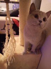 Liebe BKH Katze sucht schönes