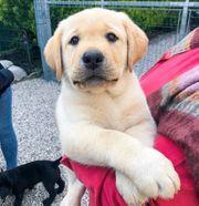 Labrador Welpen Schwarz u Blond