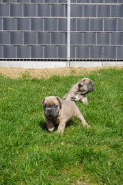Französische Bulldoggen Welpen mit Ahnenpass