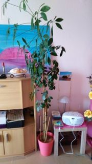 Zimmerpflanze 180 cm hoch wegen