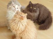 Selkirk Rex Kitten aus seriöser