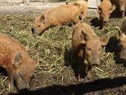 Wollschwein Duroc Ferkel