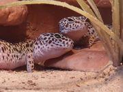 Wunderschöne Leopardgecko Weibchen zu verkaufen