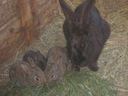 Hasen Kaninchen deutsche Riesen