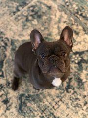 Deckrüde Französische Bulldogge BLUE