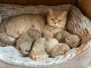 Traumhafte BKH Kitten