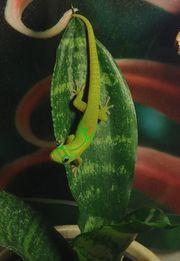 Goldstaubtaggecko phelsuma laticauda laticauda