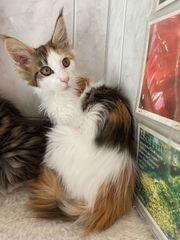 XXL Maine Coon Kitten Glückskatzen
