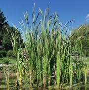 EIMER VOLL Teichpflanzen Wasserrenigung SONDERPREIS
