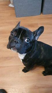 Französische Bulldogge sucht neues Heim