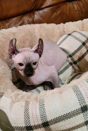 Elf Junge Sphynx Katet Kitten
