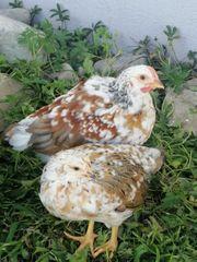 Hühner Gockel