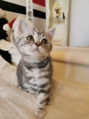 3 Reinrassige Bkh Kitten abgabebereit