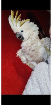 Handzahmer kakadu