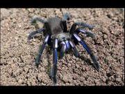 Chilobrachys spec electric blue