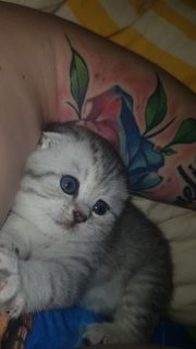 Süsse Bkh Mix kitten Mädchen