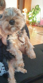 Yorker Terrier ca 9monate 600euro