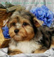 Seltene Merle Yorkshire Terrier Welpen