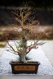 Japanischen Ahorn Bonsai