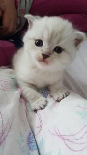 süße Britisch Kurzhaar Kätzchen
