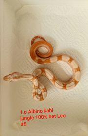Boa constrictor albino kahl Leopard